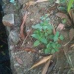 Synedrella nodiflora Leaf