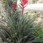 Aechmea distichantha