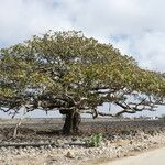 Ficus populifolia