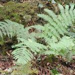 Dryopteris oligodonta