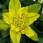 Euphorbia flavicoma