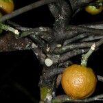 Dutailliopsis gordonii