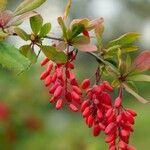 Berberis vulgaris 花