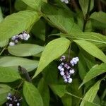 Psychotria deflexa