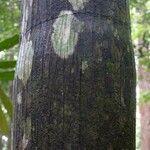 Oenocarpus bataua