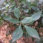 Pavetta gardeniifolia