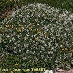 Astragalus terraccianoi