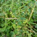 Euphorbia hyssopifolia