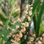 Phyllanthus epiphyllanthus