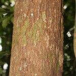 Protium tenuifolium