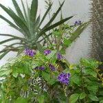 Duranta erecta Flower