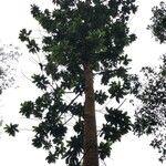 Dipterocarpus verrucosus