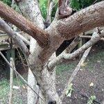 Gossypium barbadense Corteccia