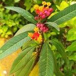 Asclepias curassavica 葉