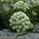 Coristospermum ferulaceum