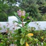 Escallonia rubra Flower