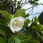 Trochetia granulata