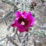 Grusonia imbricata Flower