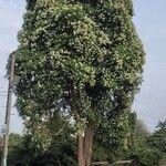 Alstonia angustifolia
