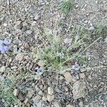 Salvia aegyptiaca