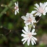 Crepis rubra