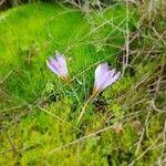 Colchicum longifolium