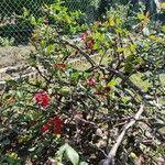 Chaenomeles japonica Kwiat