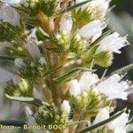 Echium onosmifolium