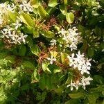 Ixora finlaysoniana Flower