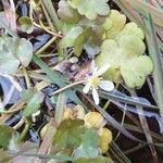 Ranunculus omiophyllus