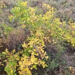 Commiphora africana Leaf