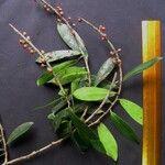 Ruyschia phylladenia