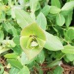 Lonicera implexa Leaf