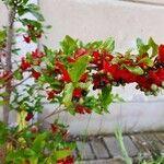 Ochna serrulata Fruit