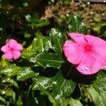 Catharanthus roseus Fiore