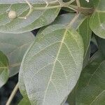 Premna serratifolia Leaf