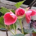 Begonia gracilis