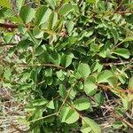 Flueggea virosa Leaf