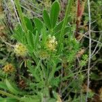 Anthyllis cornicina