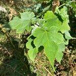 Montanoa hibiscifolia Leaf