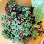 Coprosma granadensis Fruit