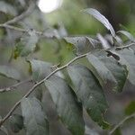 Cynophalla verrucosa