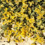 Genista microcephala