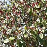 Mallotus philippensis