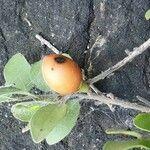 Mystroxylon aethiopicum