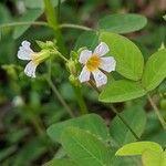 Oxalis barrelieri Flower