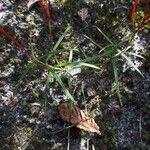 Mandevilla tenuifolia