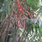 Chamaedorea tepejilote