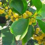 Acacia simplex
