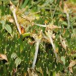 Distichia muscoides